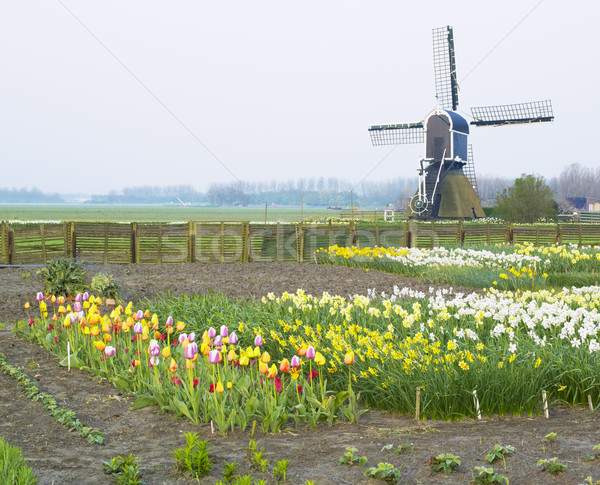 windmill with tulips and daffodils near Offem, Netherlands Stock photo © phbcz