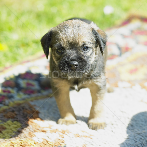 puppy (Border Terrier) Stock photo © phbcz