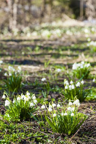 spring snowflakes on meadow Stock photo © phbcz