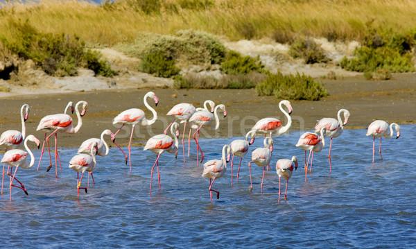 Fransa kuş kuşlar hayvanlar flamingo açık Stok fotoğraf © phbcz