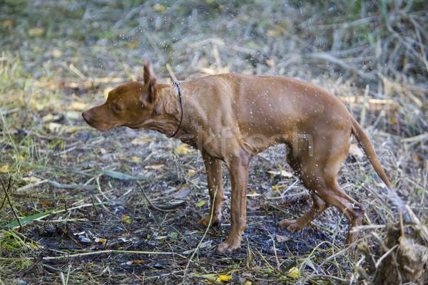 Vadászkutya kutya állat díszállat szabadtér vadászat Stock fotó © phbcz