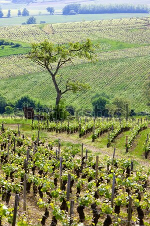 spring vineyard, Palava, Czech Republic Stock photo © phbcz