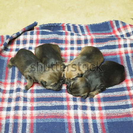 puppies (Border Terrier) Stock photo © phbcz