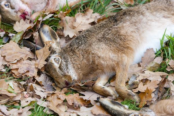 животные заяц природы лист смерти осень Сток-фото © phbcz