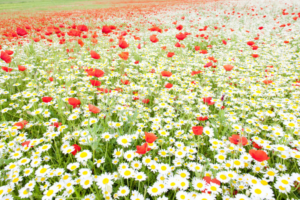 summer meadow in blossom Stock photo © phbcz
