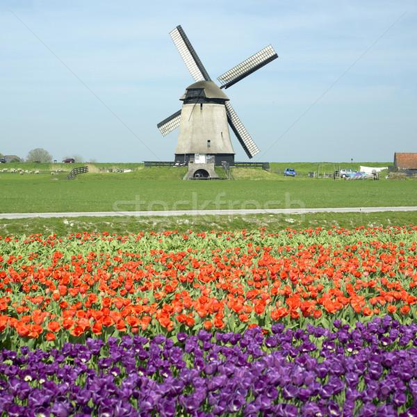 Moulin à vent tulipe domaine Pays-Bas fleurs printemps Photo stock © phbcz