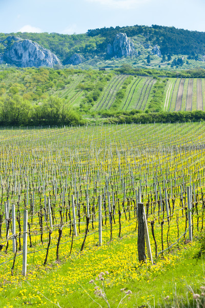 spring vineyards, Southern Moravia, Czech Republic Stock photo © phbcz