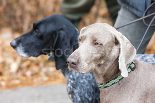 portrait of hunting dogs Stock photo © phbcz