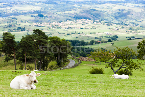 Stock photo: cows on meadow, Rhone-Alpes, France