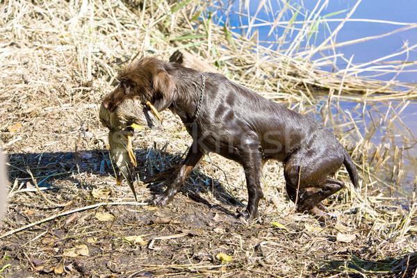 hunting dog near pond Stock photo © phbcz