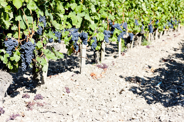 vineyard with blue grapes in Bordeaux Region, Aquitaine, France Stock photo © phbcz