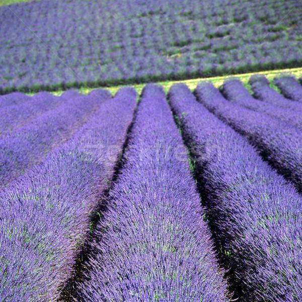 ラベンダー畑 高原 フランス ストックフォト © phbcz