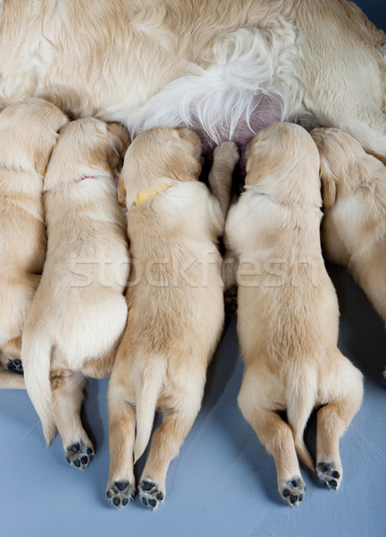 detail of female dog of golden retriever with puppies Stock photo © phbcz