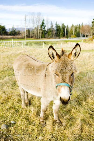 Burro Vermont EUA animal país ao ar livre Foto stock © phbcz