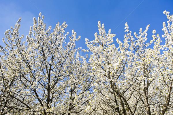 Boomgaard voorjaar bloem plant natuurlijke Stockfoto © phbcz