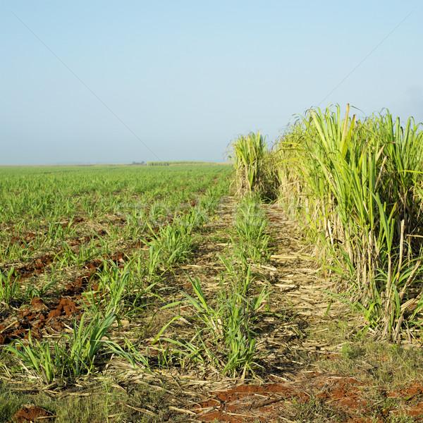 sugar cane field, Ren Stock photo © phbcz