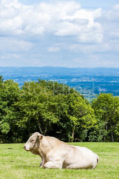 Vaca prado França natureza país agricultura Foto stock © phbcz