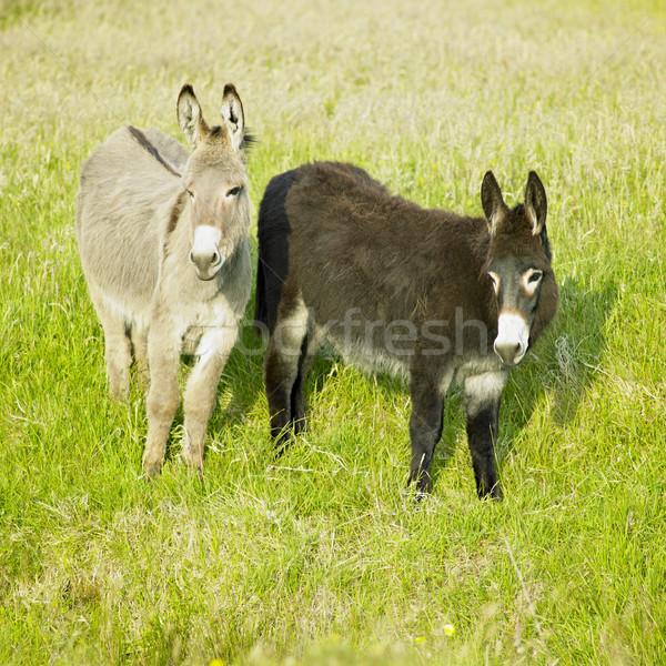 Irlanda natureza fazenda animal país burro Foto stock © phbcz