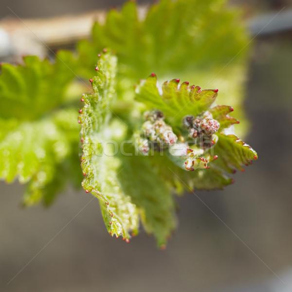 芽 性質 葉 綠色 葉 商業照片 © phbcz