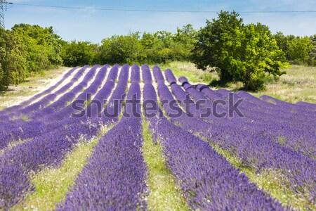 Lavendel veld Frankrijk landschap veld plant Europa Stockfoto © phbcz