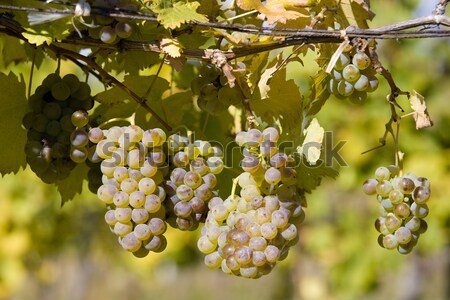 vineyard, Sedlec, Czech Republic Stock photo © phbcz