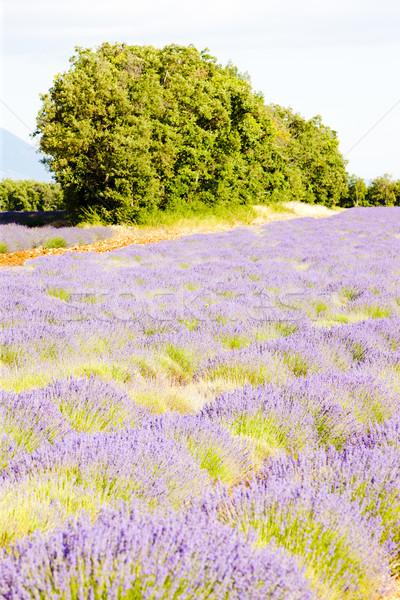 Campo de lavanda árvores França flor viajar plantas Foto stock © phbcz