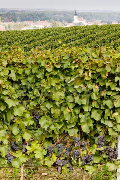 vineyards, Southern Moravia, Czech Republic Stock photo © phbcz
