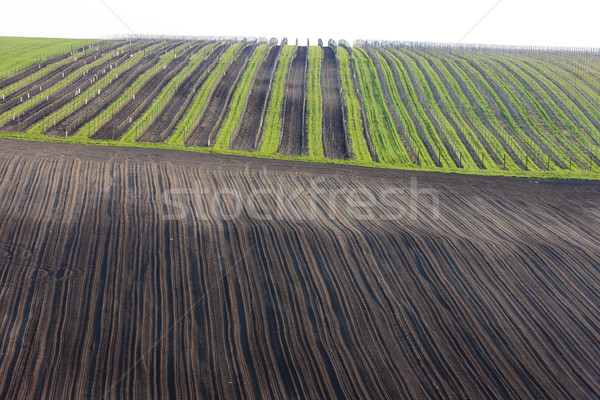 Stock photo: vineyards with field, Southern Moravia, Czech Republic