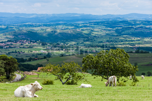 herd of cows, Rhone-Alpes, France Stock photo © phbcz