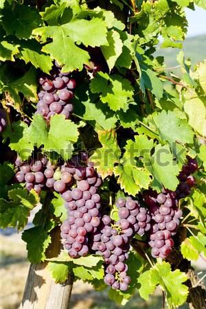 grapevine in vineyard (gewurztraminer), Alsace, France Stock photo © phbcz