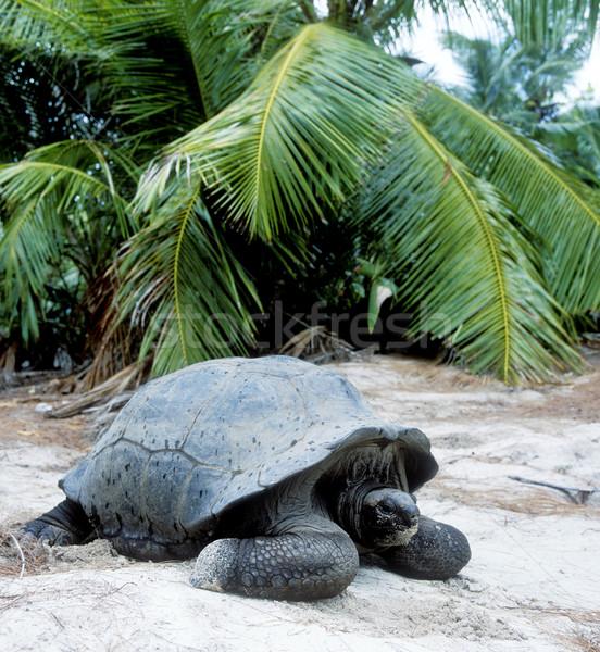 Tartaruga Seychelles natura Palm animali palma Foto d'archivio © phbcz