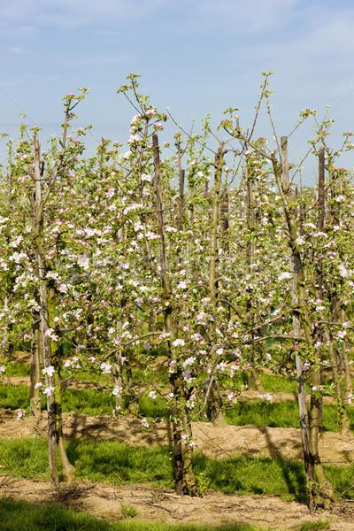 fruit orchard, Gelderland, Netherlands Stock photo © phbcz