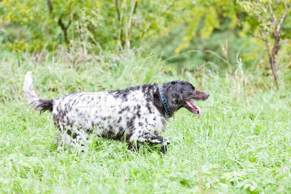 Lopen jachthond spel weide jacht buitenshuis Stockfoto © phbcz