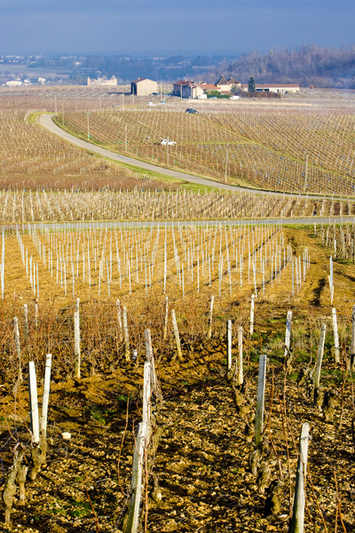 vineyards of Pouilly-Fuiss Stock photo © phbcz