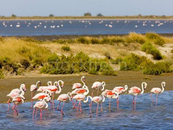 flamingos, Parc Regional de Camargue, Provence, France Stock photo © phbcz