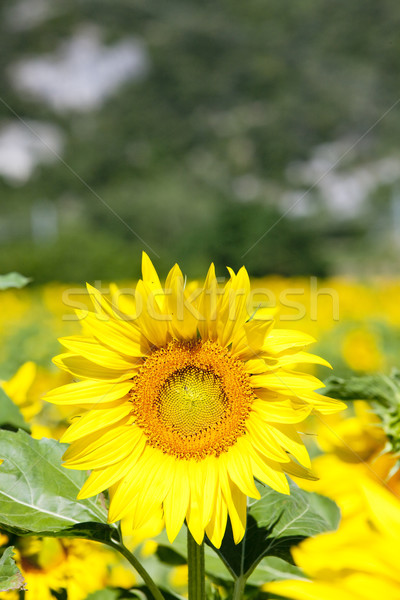 sunflower field, Rhone-Alpes, France Stock photo © phbcz