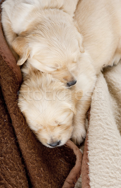 Stock photo: sleeping puppies of golden retriever