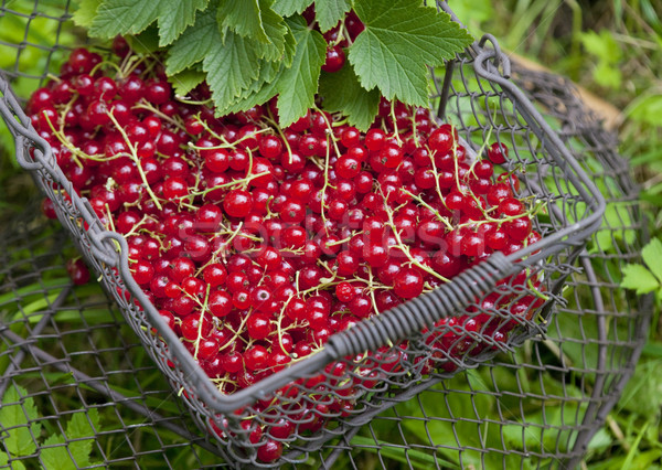 redcurrant in basket Stock photo © phbcz