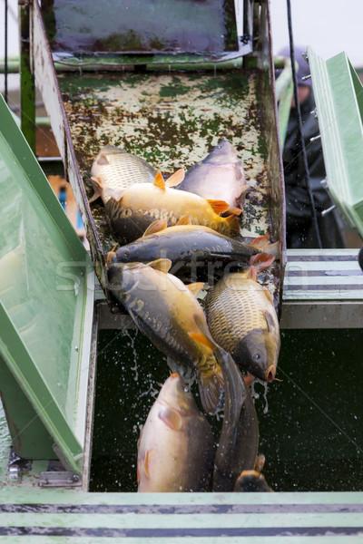 Raccolta stagno pesce autunno Foto d'archivio © phbcz