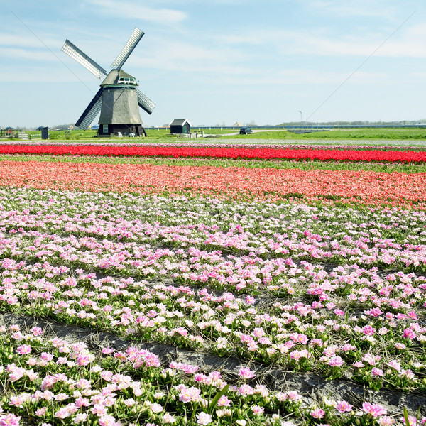 windmill with tulip field near Sint-Maartens-vlotbrug, Netherlan Stock photo © phbcz