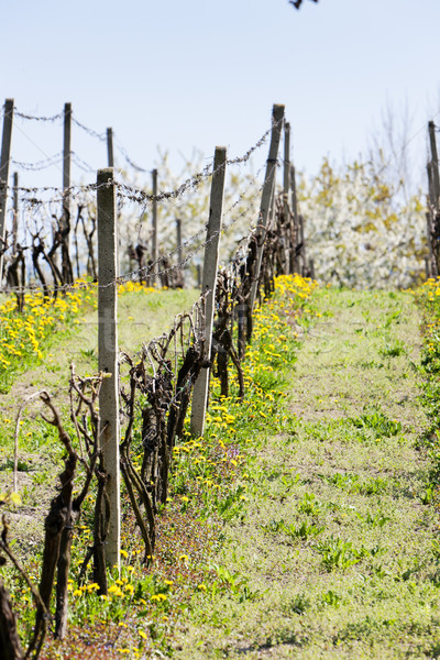 spring vineyar near Klobouky u Brna, Czech Republic Stock photo © phbcz