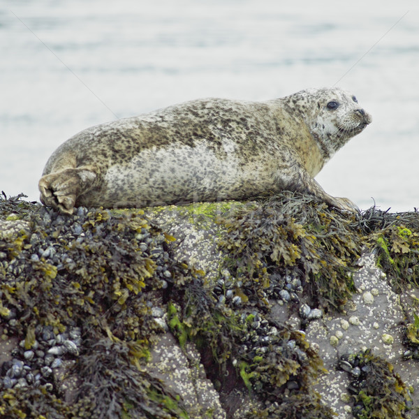 seal, Bantry Bay, County Cork, Ireland Stock photo © phbcz