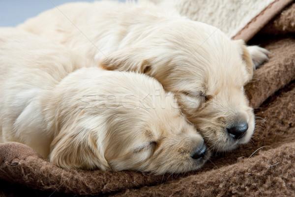 sleeping puppies of golden retriever Stock photo © phbcz