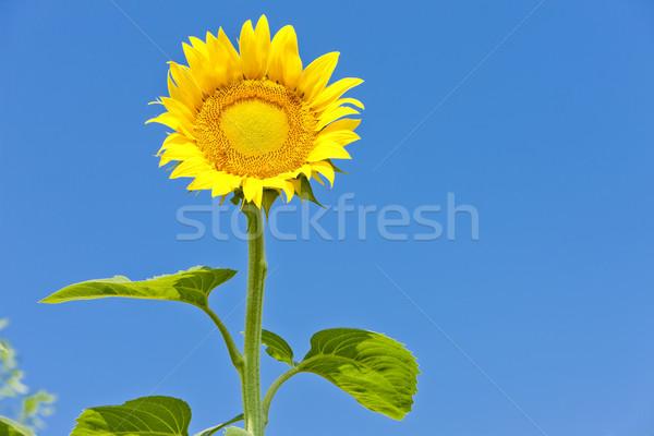 ヒマワリ 青 工場 黄色 自然 屋外 ストックフォト © phbcz
