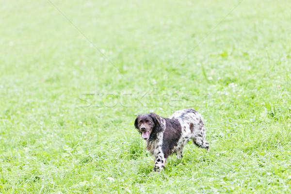 Fut vadászkutya kutya állat legelő kint Stock fotó © phbcz