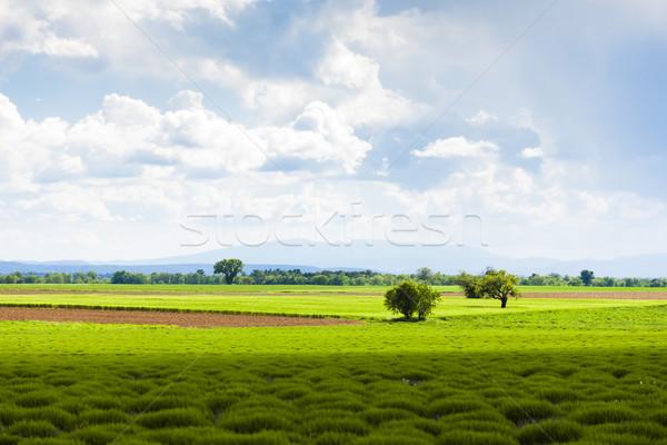 spring lavender field, Plateau de Valensole, Provence, France Stock photo © phbcz