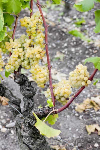Foto stock: Blanco · de · uva · región · Francia · frutas · uvas