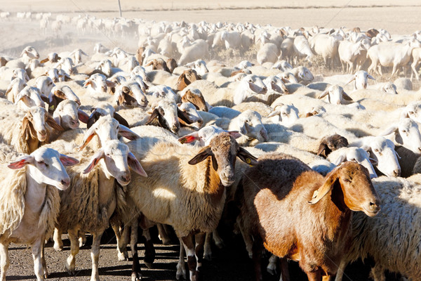 sheep herd, Castile and Leon, Spain Stock photo © phbcz