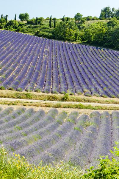 Levendula mező fennsík Franciaország virág természet levendula Stock fotó © phbcz