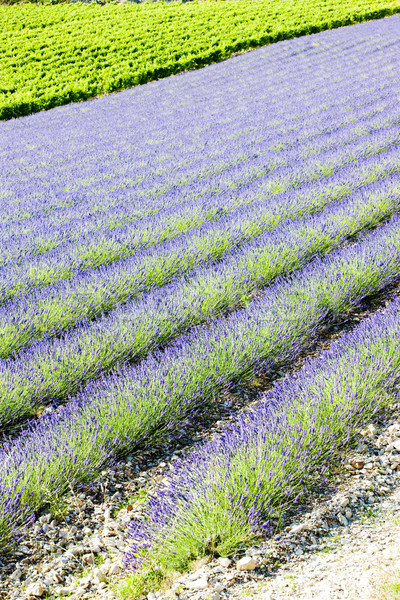 lavender field with vineyard, Drome Department, Rhone-Alpes, Fra Stock photo © phbcz